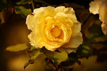 yellow-rose-3984038 1920